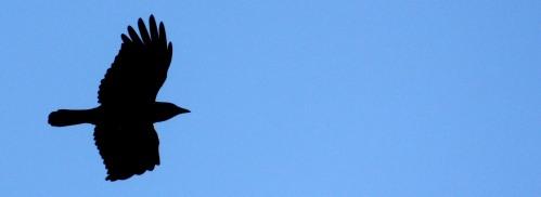 A Carolina Crow