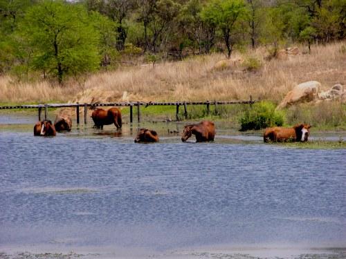 horsesSwimming